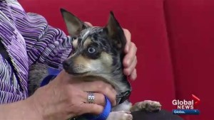 Cochrane Humane Society Pet of the Month: Indigo
