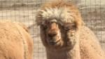 Goat yoga to alpaca hikes: area farm offering unique experiences