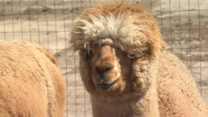 Goat yoga to alpaca hikes: area farm offering unique experiences