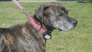 SPCA – Harmful Shock Collars