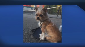 Small dog stolen off its leash outside New Westminster store