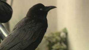 Raw video: Canuck the crow invades police scene