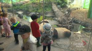 Calgary Zoo tries to create total experience to keep panda visitors returning