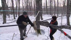 Maritime maple producers suffer extensive damage in ice storm