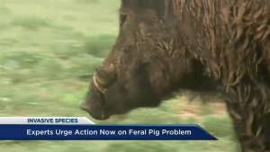 Experts urge action on feral pig problem in regions of B.C. (05:00)