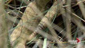 Rattlesnake sightings down in urban areas this season