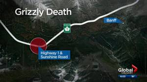 Grizzly bear put down after being struck by vehicle in Banff National Park