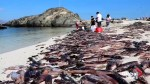 Waves of cuttlefish wash up on shore in Chile