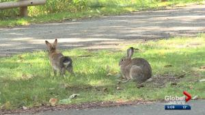 Calgary's inner city feral rabbits reproducing like… well, you know
