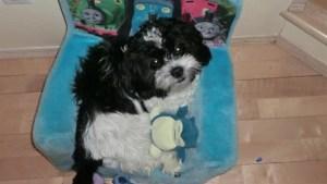 Dangerous dog designation stays for Lab that killed Shih-Tzu