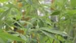 Tour of Aurora's Montreal cannabis production site