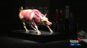 Preview of Body Worlds exhibit in Edmonton