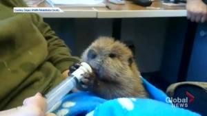 Baby beaver receiving care at Calgary Wildlife Rehabilitation Centre