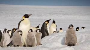 Catastrophic breeding failure at emperor penguin colony