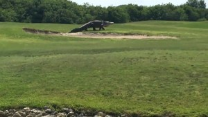 Caught on camera: Massive alligator roaming Florida golf course