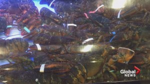 "N.B. woman starts petition against what she says is ""unethical"" treatment of lobsters"