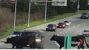 Two angry cows on the loose in Victoria