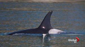 Scientists worried about local orca population after death of J28