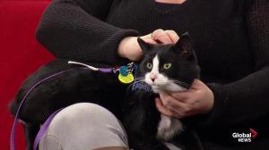 Adoptable pets with SCARS: Tuxedo & Samson