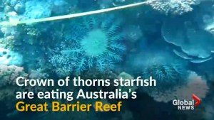 Officials say a certain kind of starfish is eating the Great Barrier Reef