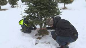 Deep rooted Christmas tree traditions begin in Keswick Ridge