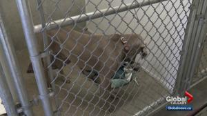 Dog owner reunited with seized dog in central Alberta