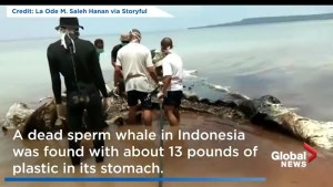 Whale found in Indonesia with about 13 pounds of plastic in stomach