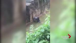 4-year-old falls into gorilla exhibit at zoo, animal killed to save boy
