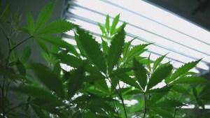 NDP government announces pot legislation