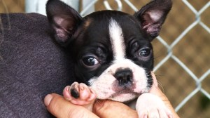 Raw: Boston Terrier puppies up for adoption