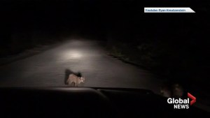 Video captures close encounter with baby cougars