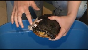 State of emergency for Ontario turtles this year