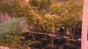 Hidden pot facility in Winnipeg prepares for next year's legalization in Canada