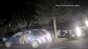 Deputy in California breaks car window to let out bear trapped inside