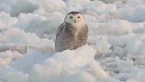 Snowy owl posing on Lake Ontario ice floe creates iconic winter image