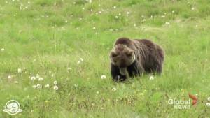 Grizzly bear warnings issued for Kananaskis Country