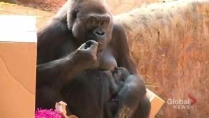 Toronto Zoo reveals gender, name of newest baby gorilla