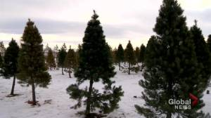 Saskatchewan's largest and oldest Christmas tree farm wraps up its season