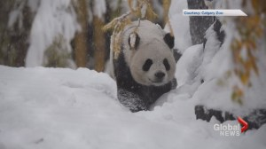 Pandas enjoy first snowfall at Calgary Zoo