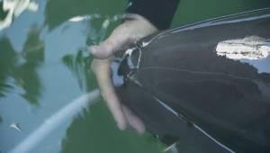 False Killer Whale dies at Vancouver Aquarium
