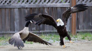 Caught on camera: bald eagle, Canada goose battle it out
