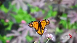 Monarch butterfly and caribou populations could be listed as endangered