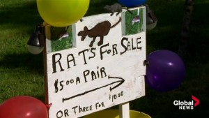 Rats for sale: Dartmouth man wants help removing rodents from neighbourhood