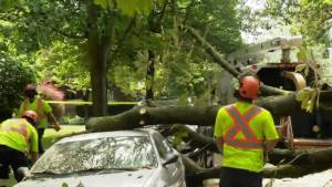 Another large tree falls on cars in Vancouver's West End