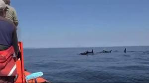 Research group says endangered orca J50 is dead
