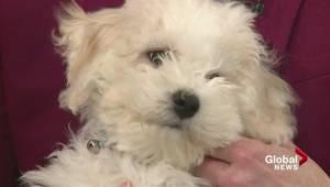 Adopt a Pet: Bichon Frise puppies