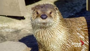 'Unfortunately it was human error': Otter dies at Calgary Zoo after becoming tangled in a pair of pants