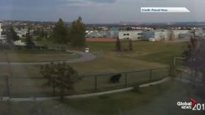 Bear spotted in northwest Calgary