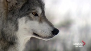 Monitoring wolves at Saskatchewan's Prince Albert National Park