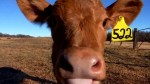 FDA approves drug to make cow poo less smelly